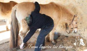 Séance d'ostéopathie pour nos chevaux