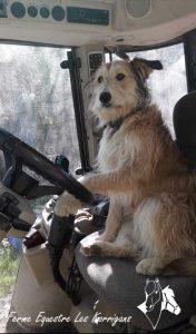 Kaouenn conduit le tracteur pour amener du foin aux champs